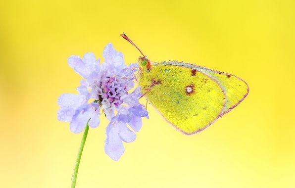 Picture flower, Rosa, background, lilac, butterfly, droplets of water