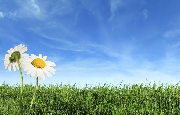 Picture GRASS, HORIZON, The SKY, FIELD, CLOUDS, CHAMOMILE, GREEN