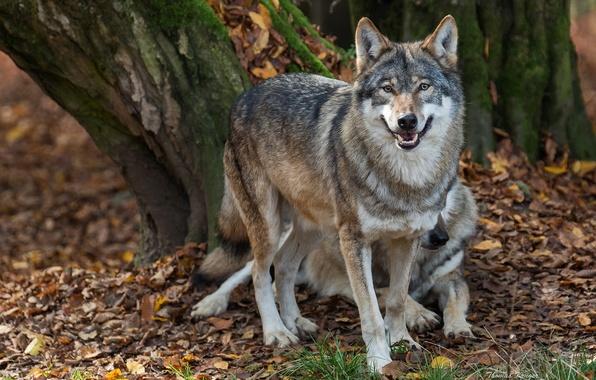 Picture autumn, predators, wolves, nurses