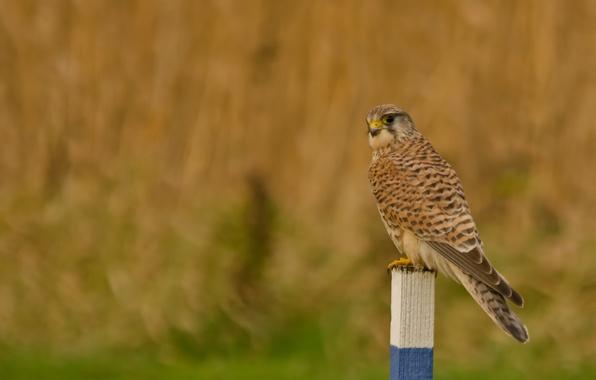 Picture field, look, bird, column, Kestrel