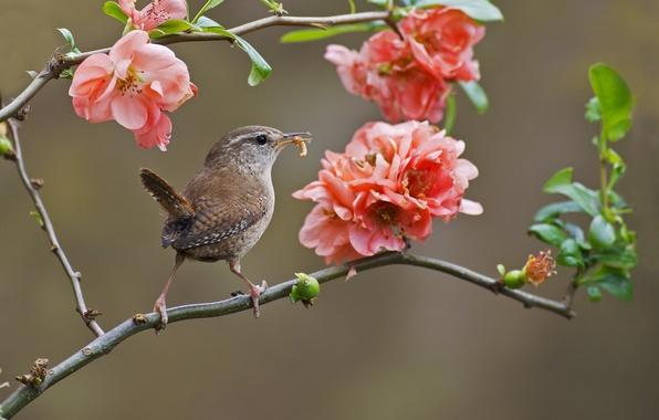 Picture branches, bird, flowering, flowers, Wren