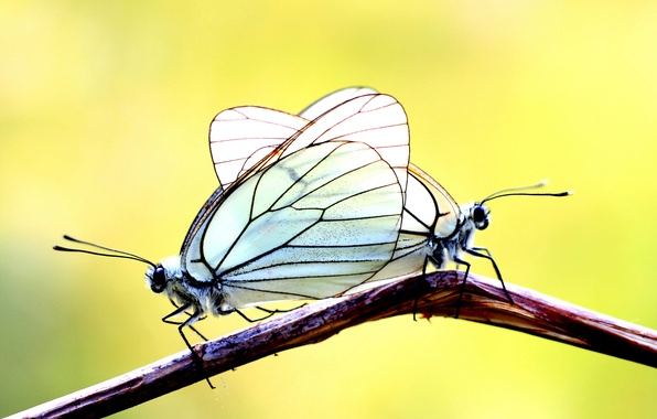 Picture butterfly, background, two, branch