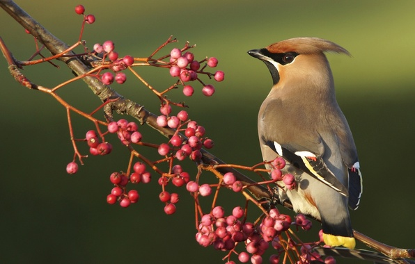 Picture berries, bird, branch, the Waxwing