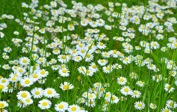 Picture field, flowers, photo, chamomile, a lot