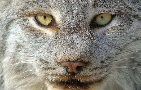 Picture look, face, light, portrait, wool, lynx