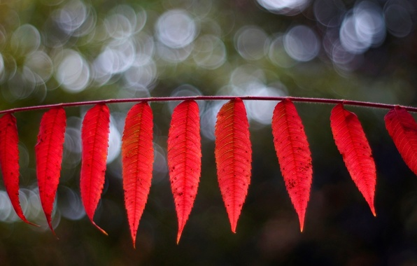 Picture leaves, macro, red, background, widescreen, Wallpaper, blur, leaf, wallpaper, leaves, leaf, widescreen, background, leaves, macro, ...