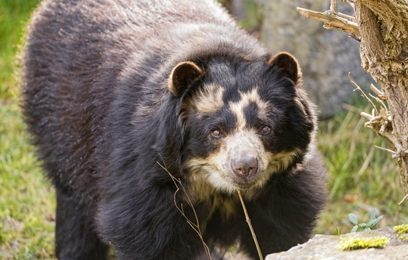 Picture look, bear, ©Tambako The Jaguar, spectacled bear