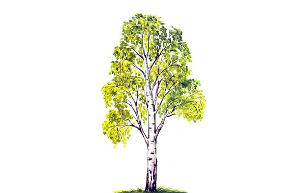 Picture leaves, tree, foliage, figure, green, white background, birch