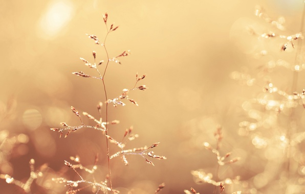 Picture grass, drops, macro, light, nature, Rosa, glare, stems, color, plants, spikelets, gold