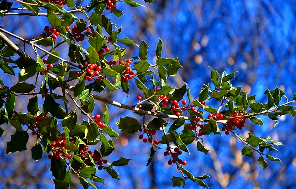 Picture leaves, nature, berries, tree, branch