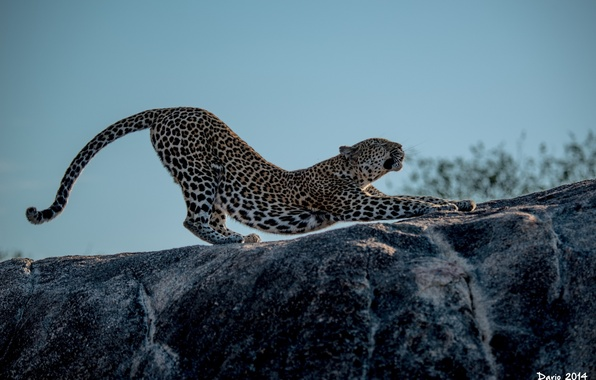 Picture pose, predator, paws, spot, leopard, profile, wild cat, stretching