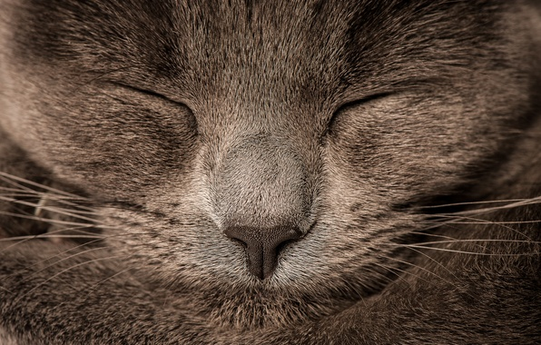 Picture cat, Koshak, sleeping, Tomcat