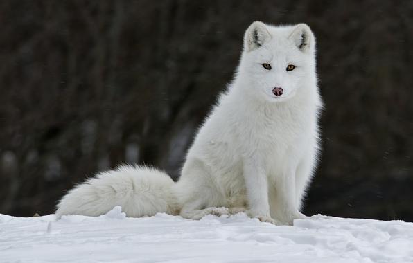 Picture winter, snow, animal, Fox, fur, fox, Fox, ears. look