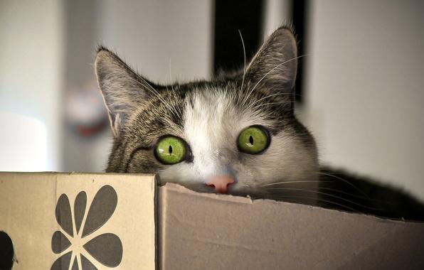 Picture eyes, cat, look, box, Koshak