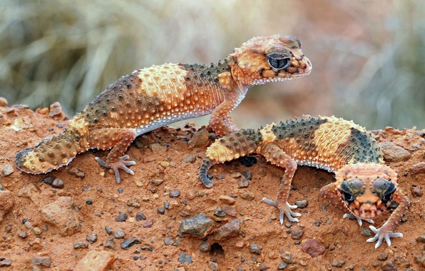 Picture brown, lizards, cold-blooded