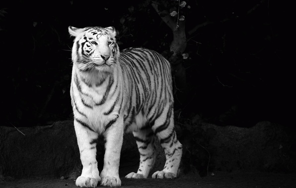 Wallpaper White Look Face Tiger Predator B W Tiger Black And