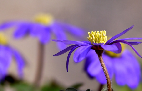 Picture flower, purple, petals, Sunny, anemone