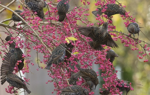 Picture birds, branches, berries, tree, starlings