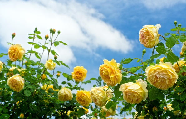 Picture the sky, roses, the bushes, yellow roses