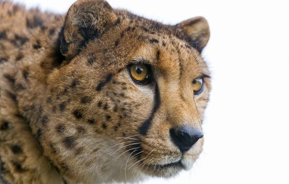 Picture cat, look, face, Cheetah, ©Tambako The Jaguar