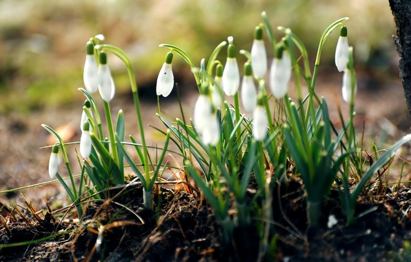 Picture forest, grass, macro, flowers, nature, earth, spring, snowdrops, white, primroses
