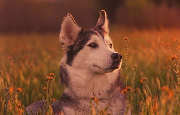 Picture grass, face, dog, husky