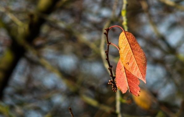 Picture autumn, leaves, macro, branch