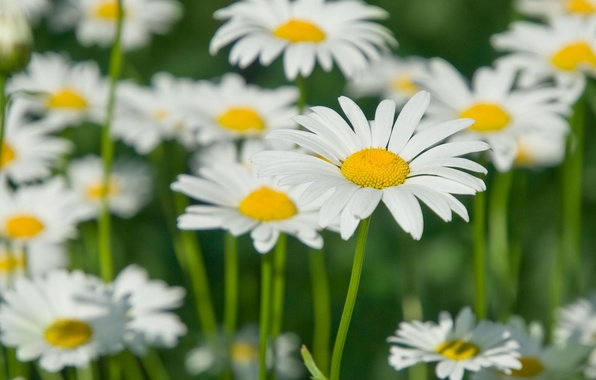 Picture field, white, flowers, yellow, green, background, widescreen, Wallpaper, blur, petals, Daisy, stem, wallpaper, flowers, widescreen, …