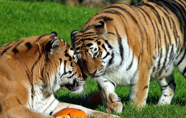 Picture tiger, stay, pair, weasel, Amur