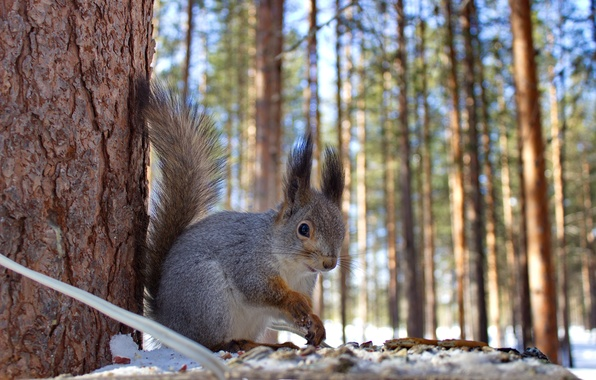 Picture winter, forest, animals, nature, protein, squirrel, feeder