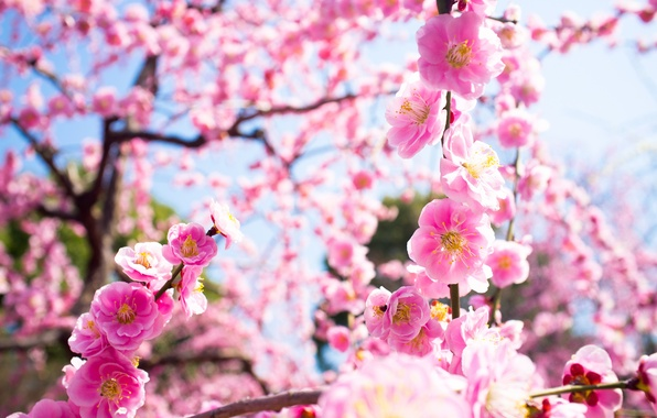 Picture macro, light, flowers, branches, nature, tree, spring, pink, flowering, drain