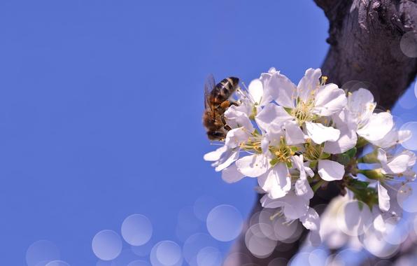 Picture the sky, macro, flowers, nature, bee, branch, spring, bokeh, Larisa Koshkina