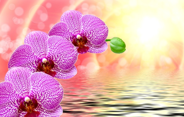 Picture water, the sun, drops, rays, flowers, glare, background, ruffle, purple, orchids, bokeh, closeup