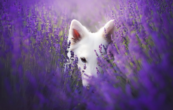 Picture look, each, dog, lavender