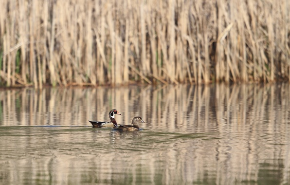 Picture lake, duck, reed