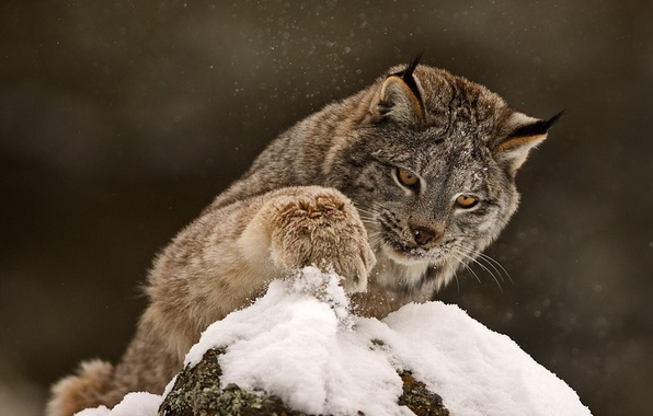 Picture winter, cat, snow, paw, predator, beast, lynx