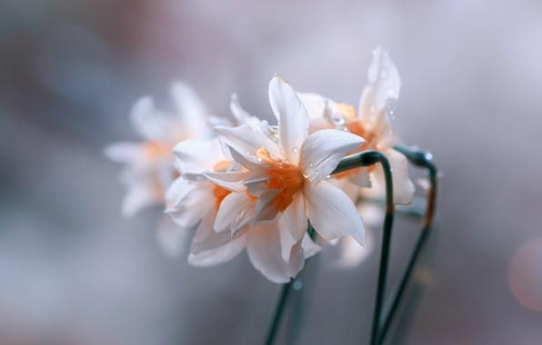 Picture drops, blur, Daffodils