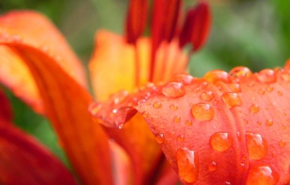 Picture flower, drops, Rosa, Lily, petal