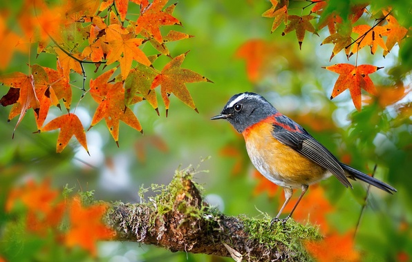 Picture autumn, leaves, macro, bird, moss, branch, photographer, Taiwan, maple, bokeh, Robin, FuYi Chen, Collared Bush-Robin, …
