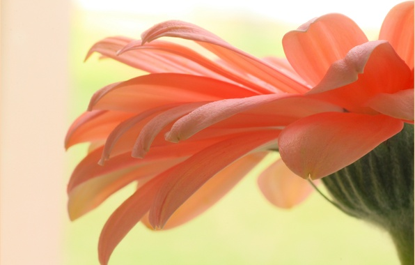 Picture flower, plant, petals, gerbera