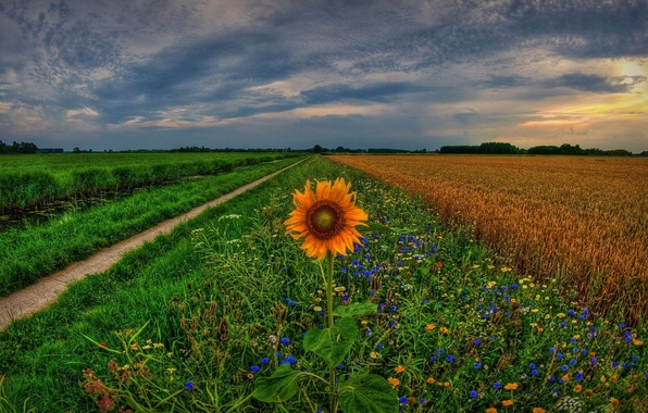 Picture field, sunset, flowers, sunflower, track, Netherlands, Holland, Holland, Netherlands, Groningen, Groningen