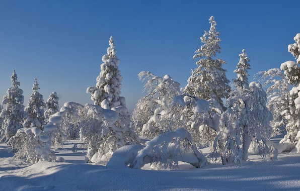 Picture winter, forest, the sky, snow, trees, landscape, tree, spruce, frost