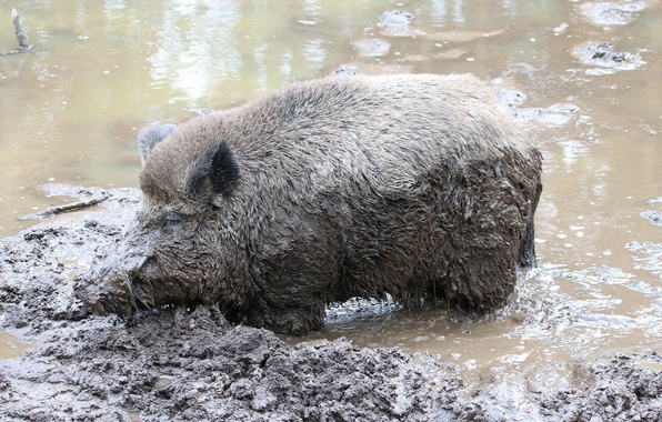 Picture nature, dirt, boar