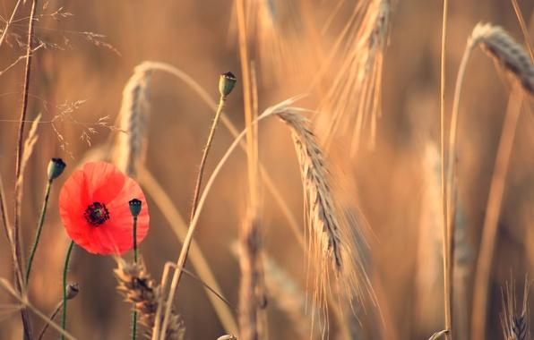 Picture field, flower, summer, Mac, ears