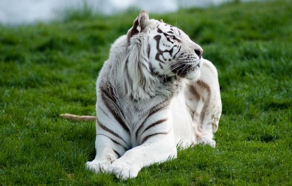 Picture white, grass, tiger, predator, lying
