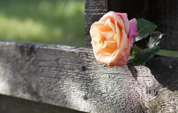 Picture the fence, rose, Board
