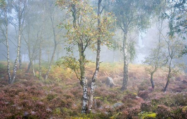 Picture autumn, fog, birch