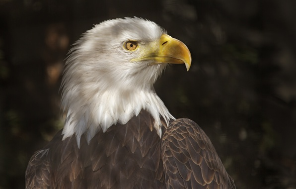 Picture light, bird, shadow, predator, beak, profile, tail, bald eagle