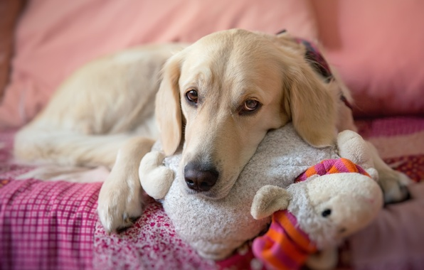 Picture look, toy, dog, dog, bed, lies, sad