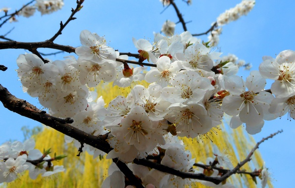 Picture flowers, nature, tree, branch, spring, apricot